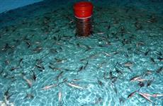 В бассейн Волги выпущено более 53 тыс. мальков стерляди
