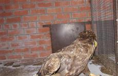 Раненого орлана-белохвоста передали сотрудникам нацпарка