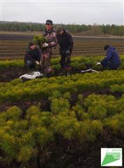 В Майнском лесничестве Ульяновской области готовят к посадке сеянцы сосны на площади 75 га