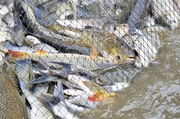 Что происходит с волжской рыбой
