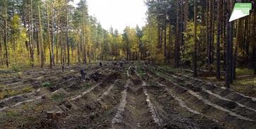 В Кузоватовском лесничестве посадили 3300 саженцев сосны