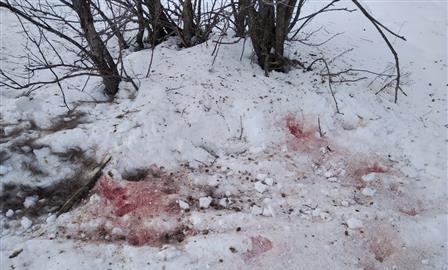 Мертвый лось в нацпарке: лужи крови и сомнительная экспертиза