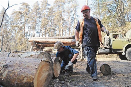 Лесорубам Тольятти предстоит обработать около 100 тысяч кубометров древесины
