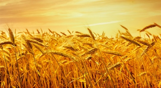 Урожай-16 в 1,7 раза превысил потребности мукомольных и хлебопекарных предприятий области
