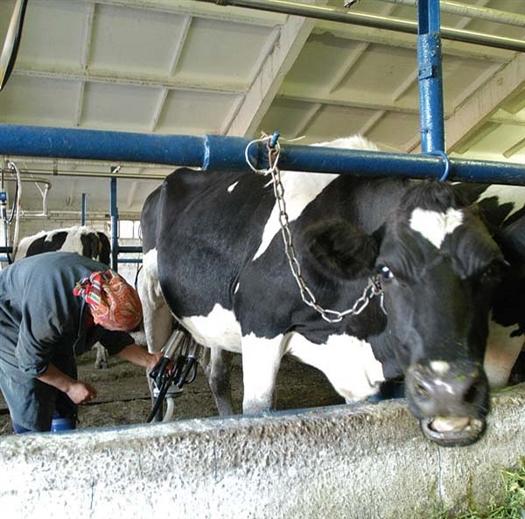 В ближайшее время закупочная цена на молоко упадет, но ни коровам, ни потребителю от этого легче не станет