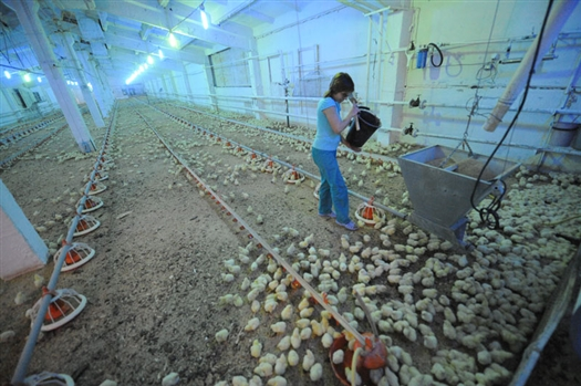 В Сергиевском районе планируется построить птицефабрику из 200 корпусов